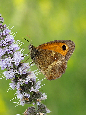 Gatekeeper / Hedge Brown butterfly (Pyronia tithonus) nectaring from flower of common Bistort, Hertfordshire, England, UK, July