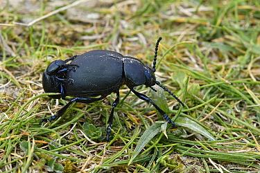 Dor beetle (Geotrupes stercorarius) mating pair, Bedfordshire, England, Uk, April