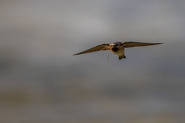 Cliff swallow (Petrochelidon pyrrhonota) carrying nesting material over the Madison River, Yellowstone National Park, Montana, USA. July.