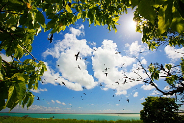 Birds gathering around the only small bit of forest to be found on an island made of coral, Christmas Island / Kiritimati, Pacific Ocean, July