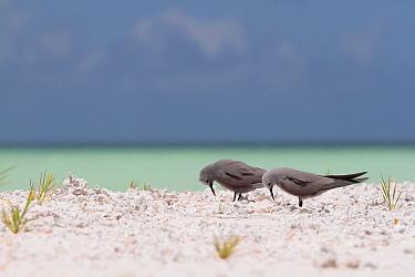 Blue-grey noddies (Procelsterna cerulea) on shore, Christmas Island / Kiritimati, July
