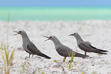 Blue-grey noddies (Procelsterna cerulea) calling, Christmas Island / Kiritimati, July