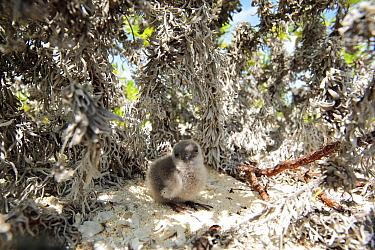 Blue-grey noddy (Procelsterna cerulea) chick in the nest, in bushes near to the beach, Christmas Island / Kiritimati, July