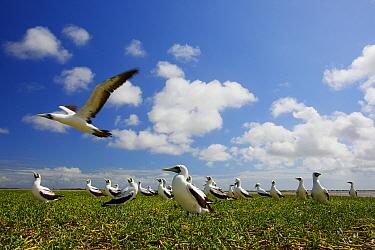 Masked boobies (Sula dactylatra), Christmas Island / Kiritimati, Pacific Ocean, July