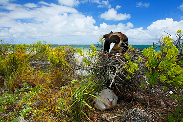 Lesser frigatebird (Fregata ariel) nesting on top of shrub with Red tailed tropicbird (Phaethon rubicauda) nesting directly on ground below, Christmas Island / Kiritimati, Pacific Ocean, July