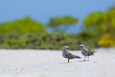 Blue-grey noddy (Procelsterna cerulea) pair, Christmas Island / Kiritimati, July
