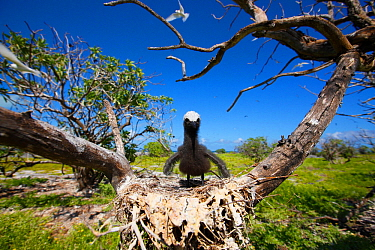 White capped / Black noddy (Anous minutus) chick in nest in tree, Christmas Island / Kiritimati, Pacific Ocean, July