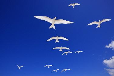 White terns (Gygis alba) flock in flight overhead, Christmas Island / Kiritimati, Pacific Ocean, July