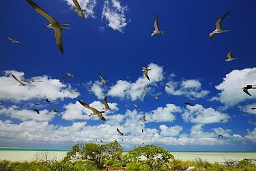 Sooty tern (Onychoprion fuscatus) flock in flight over Christmas Island / Kiritimati, Pacific Ocean, July
