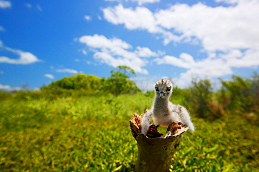 White tern (Gygis alba) newly hatched chick, about the size of a thumb, Christmas Island / Kiritimati, Pacific Ocean, July