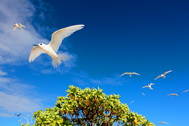 White terns (Gygis alba) in flight overhead, Christmas Island / Kiritimati, Pacific Ocean, July