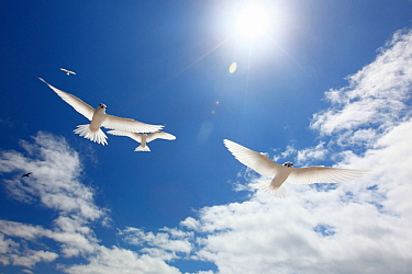 White terns (Gygis alba) flying overhead under bright sunlight, Christmas Island / Kiritimati, Pacific Ocean, July