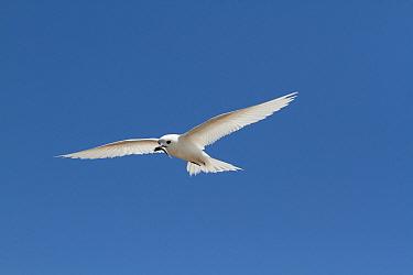 White tern (Gygis alba) in flight, Christmas Island / Kiritimati, Pacific Ocean, July