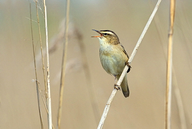 Sedge warbler (Acrocephalus schoenobaenus) singing, Greylake RSPB Reserve, Somerset Levels, England, UK, May.