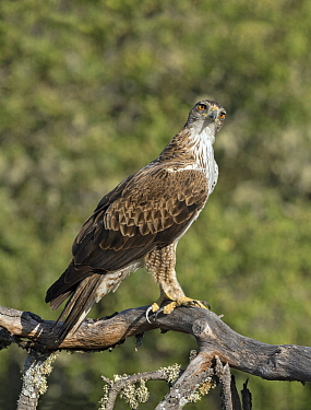 Bonelli's Eagle (Hieraaetus fasciatus) perched, Spain, June.