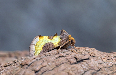 Burnished brass moth (Diachrysia chrysitis) Wiltshire, England, UK, August.