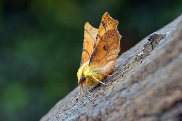 Canary-shouldered thorn moth (Ennomos alniaria) Wiltshire, England, UK, August.