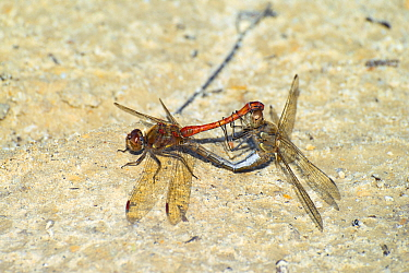 Common darter dragonfly (Sympetrum striolatum) pair mating, Dorset, England, UK, September.