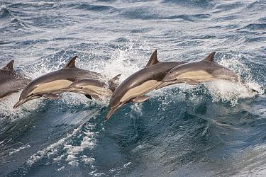 Long beaked common dolphin (Delphinus capensis) pod porpoising Baja California, Mexico.