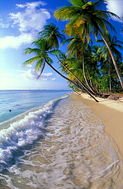 Palm trees line the beach at Pigeon Point, Tobago