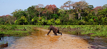 Western lowland gorilla (Gorilla gorilla gorilla) sub-adult female 'Mosoko' aged 8 years crossing a river, Bai Hokou, Dzanga Sangha Special Dense Forest Reserve, Central African Republic