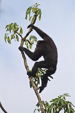 Hoolock gibbon (Hoolock leuconedys) climbing tree, Gaoligong Mountain National Nature Reserve, Tengchong county, Yunnan Province, China.