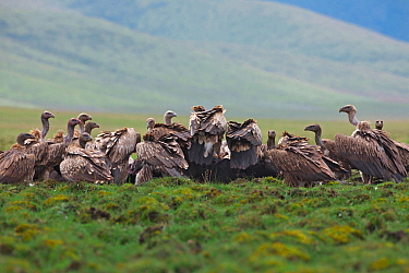 Himalayan griffon vultures (Gyps himalayensis) flock scavenging, Ruoergai National Nature Reserve, Sichuan Province, China, January.