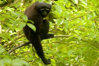 Skywalker hoolock gibbon (Hoolock tianxing) formerly described as Eastern hoolock gibbon (Hoolock leuconedys) Gaoligong Mountains National Nature Reserve, Yunnan Province, China.