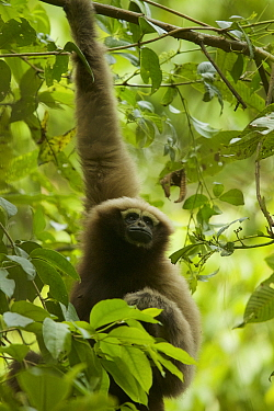 Skywalker hoolock gibbon (Hoolock tianxing) formerly described as Eastern hoolock gibbon (Hoolock leuconedys) Gaoligong Mountains National Nature Reserve, Yunnan Province, China.