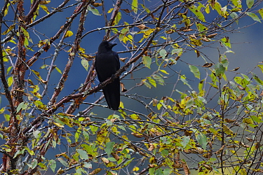 Large-billed crow (Corvus macrorhynchos) in the humid montane mixed forest, Laba He National Nature Reserve, Sichuan, China