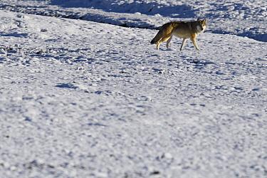 Tibetan wolf (Canis lupus) in snow, Keke Xili, Changtang, Tibetan Plateau, Qinghai, China