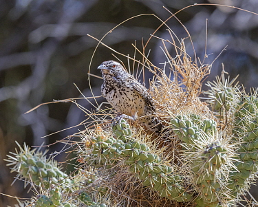 Cactus wren (Campylorhynchus brunneicapillus) building its nest amongst the sharp spines of a Chain cholla cactus (Cylindropuntia fulgida), Sonoran Desert near Tucson, Arizona, USA. July.