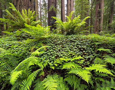 Bracken ferns and Sorrel growing on a felled Redwood tree, Redwood National Park, Prairie Creek, California, USA. May 2017.