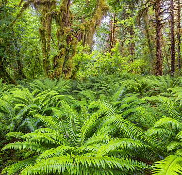 Western sword fern (Polystichum munitum) and Big leaf maple (Acer macrophyllum) trees that are covered with moss, Hoh Temperate Rainforest, Olympic National Park, Washington, USA. June 2017.
