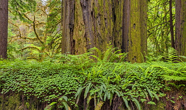 Bracken ferns and Sorrel growing on a felled Redwood tree, Redwood National Park, Prairie Creek, California, USA. June 2017.