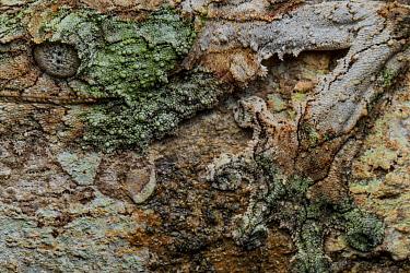 Leaf tailed gecko (Uroplatus sicorae) close up of camouflage skin, Andasibe-Mantadia National Park, Moramanga, Madagascar.