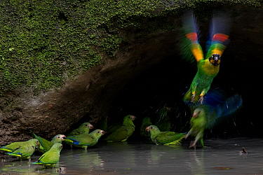 Cobalt-winged parakeets (Brotogeris cyanoptera) and an Orange-cheek parrot (Pionopsitta barrabandi) eating clay. Yasuni National Park, Orellana, Ecuador.