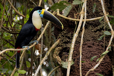 White-throated toucan (Ramphastos tucanus) perched close to a termite nest. Tambopata National Reserve, Madre de Dios, Peru.