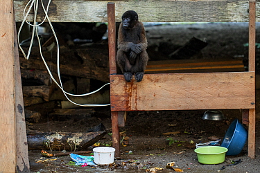 Woolly monkey (Lagothrix lagotricha) tied up in a indigenous community house, as an illegal pet. Dureno, Sucumb�os, Ecuador.