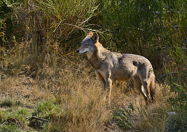 Mongolian wolf (Canis lupus chanco) Captive, occurs in Mongolia, northern and central China, Korea, and the Ussuri region of Russia.