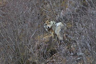 Eurasian wolf (Canis lupus) Sanjiangyuan National Nature Reserve, Qinghai Hoh Xil UNESCO World Heritage Site, Qinghai-Tibet Plateau, Qinghai Province, China.