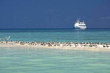 Greater crested terns (Thalasseus bergii) on a strip of sand with the MV Atlantis Azores liveaboard boat in distance, Tubbataha Reef Natural Park, UNESCO World Heritage Site,  Sulu Sea, Cagayancillo,...