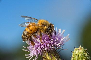 European honey bee (Apis mellifera), feeding on Spear thistle (Cirsium vulgare) Pentwyn farm SSSI, Gwent Wildlife Trust Reserve, Monmouthshire Wales UK, July.