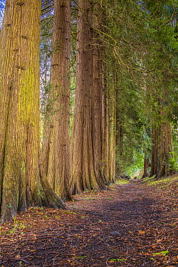 Avenue of Western Red Cedar trees (Thuia plicata) Wye Valley,  Monmouthshire, Wales, UK, March.