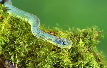 Variable bush viper (Atheris squamigera) portrait,  endemic to west and central Africa
