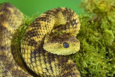 Cameroon bush viper (Atheris broadleyi) captive occurs in West Africa.