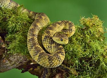 Cameroon bush viper (Atheris broadleyi) captive, occurs in West Africa.