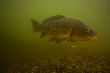 European carp (Cyprinus carpio) Tarn River, France, June.