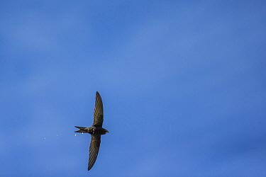 Swift (Apus apus) defecating in flight, Monmouthshire, Wales, UK,  June.