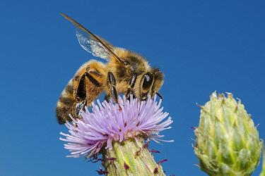 European honey bee (Apis mellifera), feeding on Spear thistle (Cirsium vulgare), Pentwyn farm SSSI, Gwent Wildlife Trust, Reserve, Monmouthshire, Wales, UK, July.